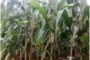 Maize farmers turning to other farming activities as profitability declines