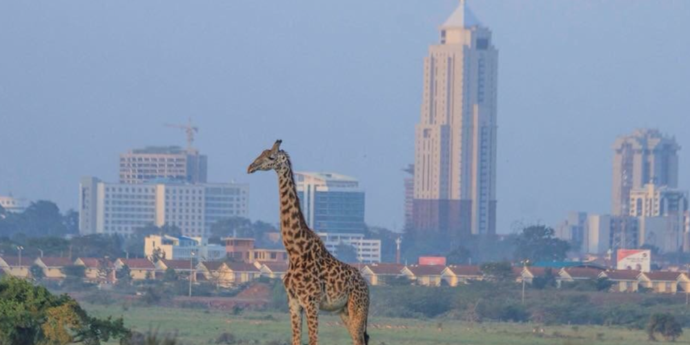 Image of a giraffe in a park